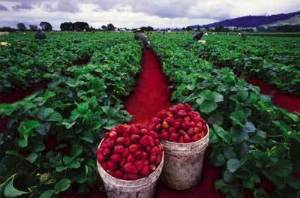 rapid-red-strawberry-fields