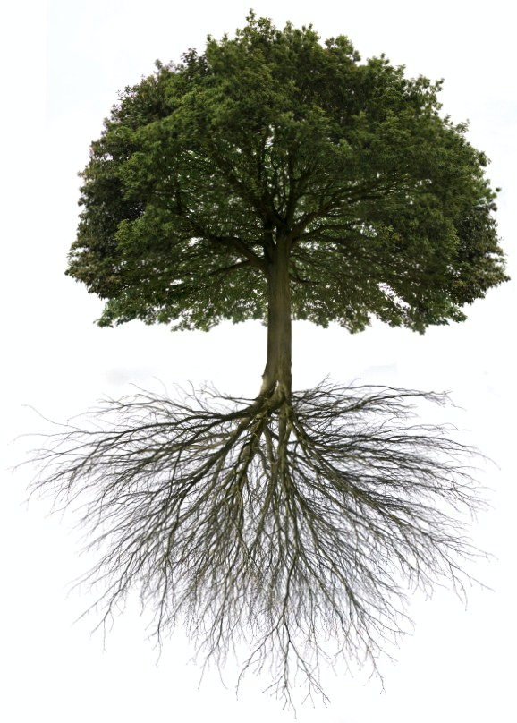 iStock_000011086624Small-Oak-Tree-with-root-system3